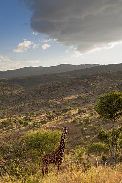 Reticulated Giraffe (Giraffa camelopardalis reticulata) on hillside with overcast sky. Laikipia, Kenya. February.