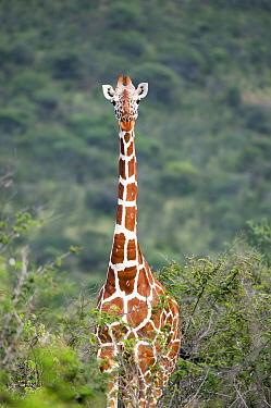 Portrait of Reticulated Giraffe (Giraffa camelopardalis reticulata) in shrubland. Laikipia, Kenya. February.