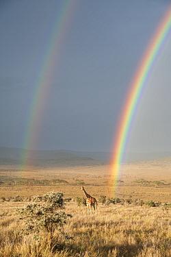 Reticulated Giraffe (Giraffa camelopardalis reticulata) in distance on savanna with double  rainbow at onset of rainy season. Laikipia, Kenya. February.