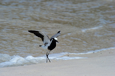 Blacksmith Lapwing or Blacksmith Plover (Vanellus armatus) standing on beach. Cape Town, South Africa. November.