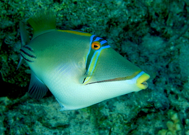 Picasso Triggerfish (Rhinecanthus aculeatus) in Red Sea, Egypt. July.