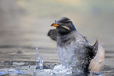 Rhinoceros Auklet (Cerorhinca monocerata) shaking off water. Alaska. June.
