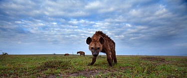 Spotted hyena (Crocuta crocuta) approaching with curiosity. Masai Mara National Reserve, Kenya. Taken with remote wide angle camera.