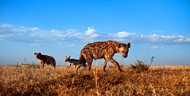 Spotted hyenas (Crocuta crocuta) and Black-backed jackals (Canis mesomelas) approaching with curiosity. Masai Mara National Reserve, Kenya. Taken with remote wide angle camera.