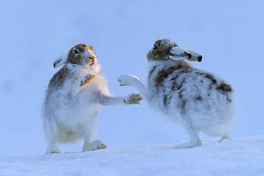 Mountain hares (Lepus timidus) boxing, Vauldalen, Sor-Trondelag, Norway, May.