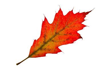 Turkey oak (Quercus cerris) individual leaf on lightbox Ringwood Hampshire UK October
