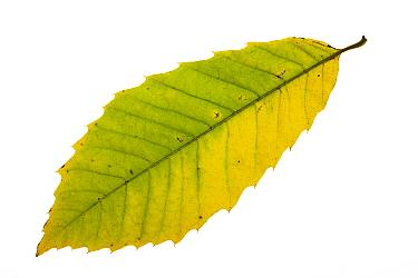 Sweet chestnut (Castanea sativa) individual leaf on lightbox Ringwood Hampshire UK October