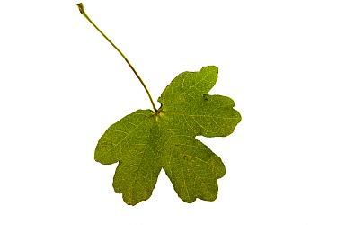 Field maple (Acer campestre) individual leaf on lightbox, Ringwood, Hampshire, UK October