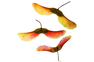 Norway maple (Acer platanoides) seeds on lightbox, Ringwood, Hampshire, UK October
