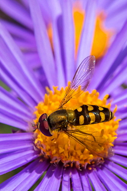 Hoverfly (Eupeodes sp.) feeding on Alpine Aster (Aster alpinus), Nordtirol, Austrian Alps. July.