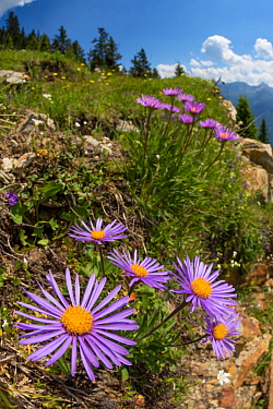 Alpine Aster (Aster alpinus), wide angle view to show dry meadow habitat. Nordtirol, Austrian Alps. July.