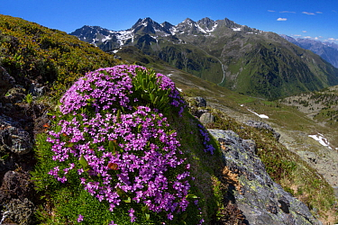 Moss Campion (Silene acaulis) photographed with a fisheye lens to show mountain environment. Nordtirol, Austrian Alps, June.