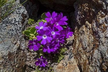 Mountain Primrose (Primula villosa) Nordtirol, Austrian Alps. June.