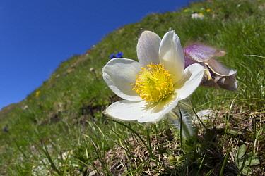 Spring Pasque Flower (Pulsatilla vernalis) Nordtirol, Austrian Alps. June.