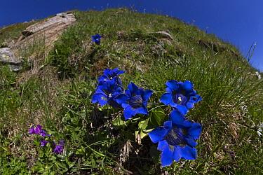 Trumpet / Stemless Gentian (Gentiana acaulis) Nordtirol, Austrian Alps. June.