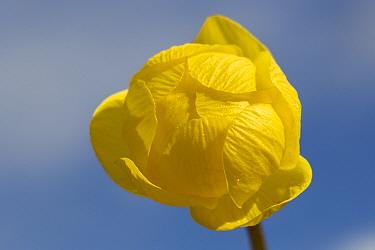 Globeflower (Trollius europaeus) Nordtirol, Austrian Alps. June.