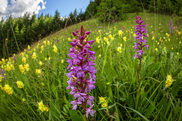 Fragrant Orchid (Gymnadenia conopsea) and Yellow Rattle (Rhinanthus sp.) flowering in ancient alpine hay meadow. Nordtirol, Austrian Alps. June.