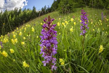 Fragrant Orchid (Gymnadenia conopsea) and Yellow Rattle (Rhinanthus sp.) flowering in ancient alpine hay meadow. Nordtirol, Austrian Alps. June.