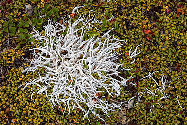 Whiteworm Lichen (Thamnolia vermicularis) growing amongst Trailing / Mountain Azalea (Loiseleuria procumbens). 2500 metres, Nordtirol, Austrian Alps. June.