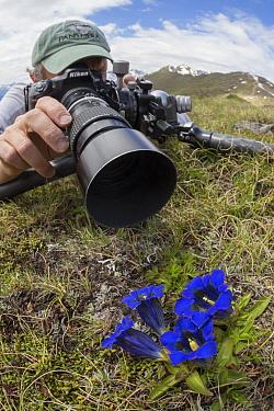 Photographer focusing on a Trumpet / Stemless Gentian (Gentiana acaulis) Nordtirol, Austrian Alps. June.