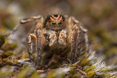 Jumping spider (Aelurillus v-insignitus) male Nordtirol, Austrian Alps. June.
