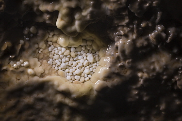 Cave Pearls, formed as dripping water rich in calcium salts deposits calcite around a small nucleus (often a sand grain). The constant movement of each cave pearl by the dripping water keeps them roun...