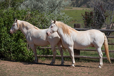 Overweight male mustang, aged 9 years, Claro and Cremosso, originally from the from the McCullough Peak herd in Wyoming, Colorado, USA. July.