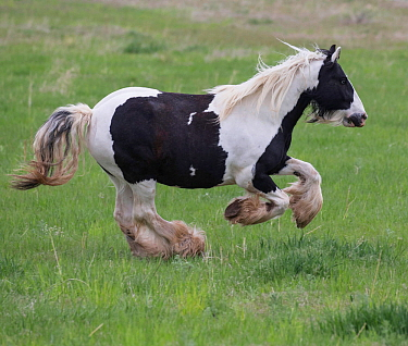 Overweight Gypsy vanner mare, aged 11 years at Happy Dog Ranch horse rescue, Littleton, Colorado. May.