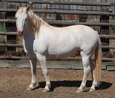 Overweight male mustang, aged 9 years, originally from the from the McCullough Peak herd in Wyoming, Colorado, USA. July.