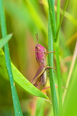 Female Meadow grasshopper (Chorthippus parallelus) on grass, pinkish colour variation, Sutcliffe Park Nature Reserve, Eltham, London, England, June.