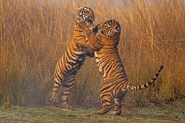 Bengal tiger (Panthera tigris tigris) 11 month old cubs play fighting, Ranthambhore National Park, India.