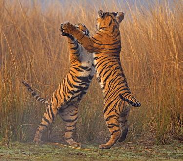 Bengal tiger (Panthera tigris tigris) 11 month cubs play fighting, Ranthambhore National Park, India.