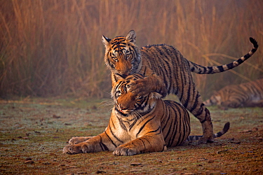 Bengal tiger (Panthera tigris tigris) female 'T19 Krishna' with 11 month cub, Ranthambore National Park, India.