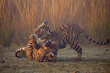 Bengal tiger (Panthera tigris tigris) 11 month cubs playing, Ranthambhore National Park, India.