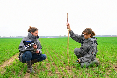 Scientists from the French Wildlife Department (ONCFS) measuring the depth of burows of common hamsters (Cricetus cricetus) in a wheat field, Alsace, France, April 2013 Model released.