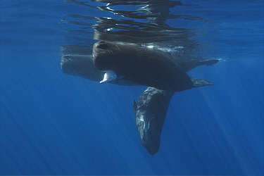 Family of Sperm whales (Physeter macrocephalus) resting at the ocean surface, with the lead female holding Architeuthis giant squid in her mouth. Ogasawara, Japan.