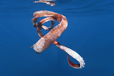 Segment of an Architeuthis giant squid feeding tentacle (tentacular arm) that was left in the water by a sperm whale (Physeter macrocephalus) after it breached. This squid arm fragment measured 351 ce...