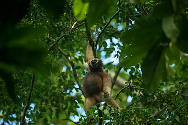 Hoolock gibbon (Hoolock hoolock) female in trees, Gibbon Wildlife Sanctuary, Jorhat, Assam, North East India.