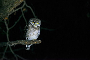 Spotted owlet (Athene brama) at night, National Chambal Gharial Wildlife Sanctuary, Madhya Pradesh, India.