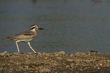 Great thick-knee (Esacus recurvirostris) National Chambal Gharial Wildlife Sanctuary, Madhya Pradesh, India