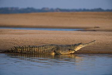 Gharial (Gavialis gangeticus) on shore, National Chambal Gharial Wildlife Sanctuary, Madhya Pradesh, India. Critically endangered species.