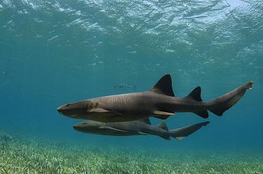 Nurse shark (Ginglymostoma cirratum) and Horse-eye jacks (Caranx latus) Shark Ray Alley, Hol Chan Marine Reserve, Belize Barrier Reef. Belize.