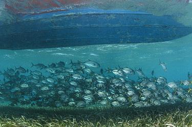 Horse-eye Jacks (Caranx latus) under boat, Shark Ray Alley Hol Chan Marine Reserve, Belize Barrier Reef, Belize.