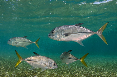 Horse-eye jack fish (Caranx latus) Shark Ray Alley,  Hol Chan Marine Reserve, Belize Barrier Reef, Belize.