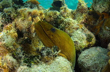 Green moray eel  (Gymnothorax funebris) Lighthouse Reef Atoll, Belize.
