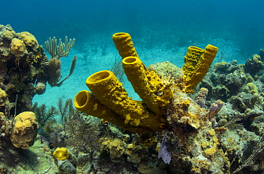 Yellow tube sponge (Aplysina fistularis) Lighthouse Reef Atoll, Belize Barrier Reef, the second largest barrier reef system in the world. Belize.