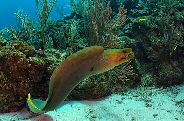 Green moray (Gymnothorax funebris) Hol Chan Marine Reserve, Ambergris Caye, Belize.
