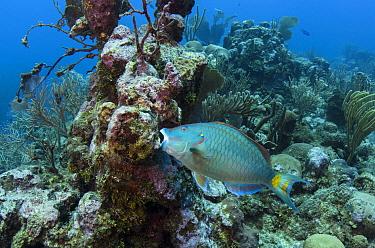Stoplight parrotfish (Sparisoma viride) on coral reef,  Hol Chan Marine Reserve, Belize.