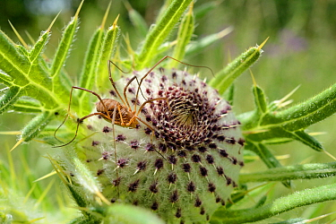 Female Harvestman (Mitopus morio) sunning on a Woolly thistle (Cirsium eriophorum) flowerhead in a chalk grassland meadow, Wiltshire, UK, July.