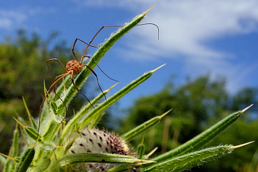 Female Harvestman (Mitopus morio) sunning on Woolly thistle (Cirsium eriophorum) leaves in a chalk grassland meadow, Wiltshire, UK, July.